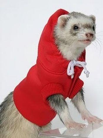 Ferrets in Sweaters (6 pics)