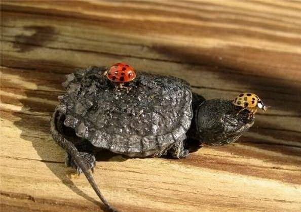 Tiny Turtle (13 pics)