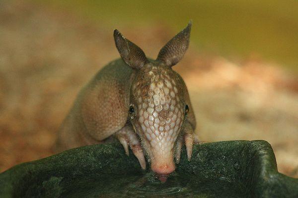 Baby Armadillos (17 pics)