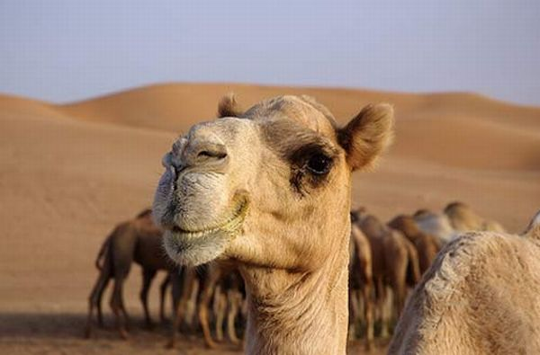 1000  ideas about Funny Camels on Pinterest | Funny horses, Funny ...