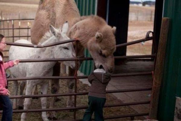 Funny Camels (20 pics)