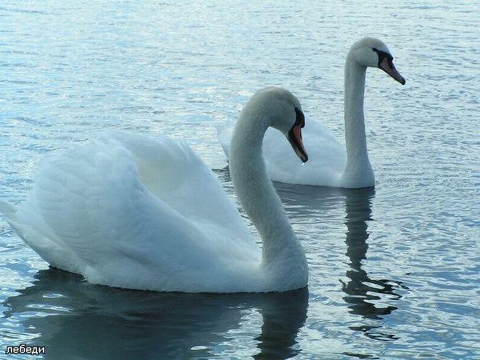 Swans (25 pics)