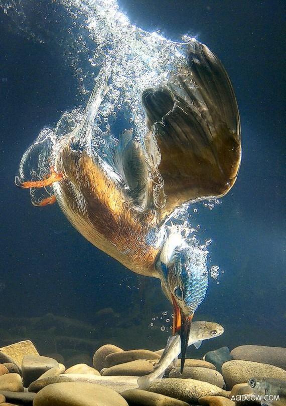 Kingfishers - little killing machines (4 pics)