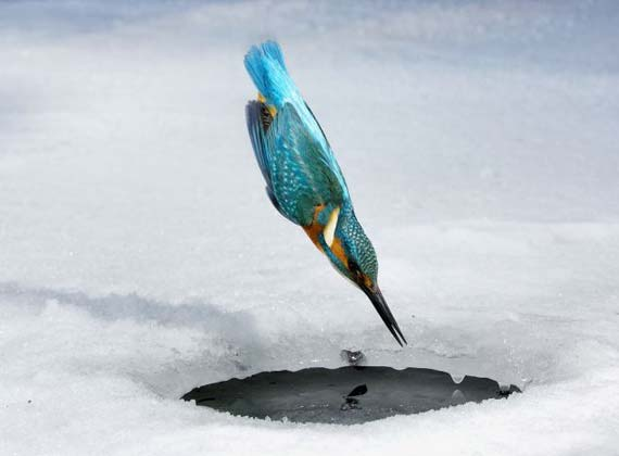 Kingfishers - little killing machines (4 pics)
