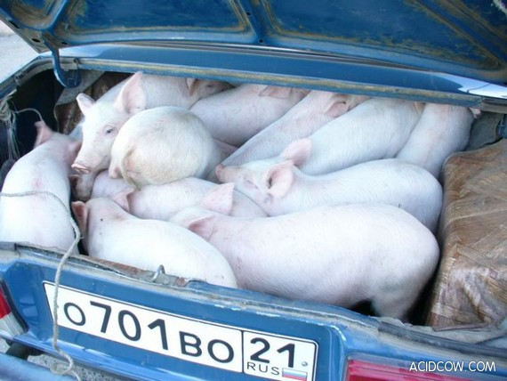 Pigs in the Trunk (2 Pics)