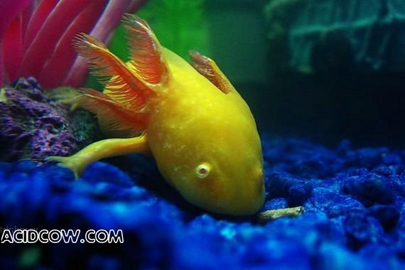 Who wants an axotol as a pet? (44 photo)
