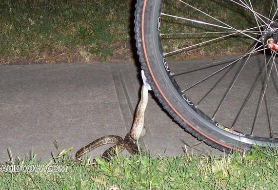 Snake Attacks a Bike (2 pics)