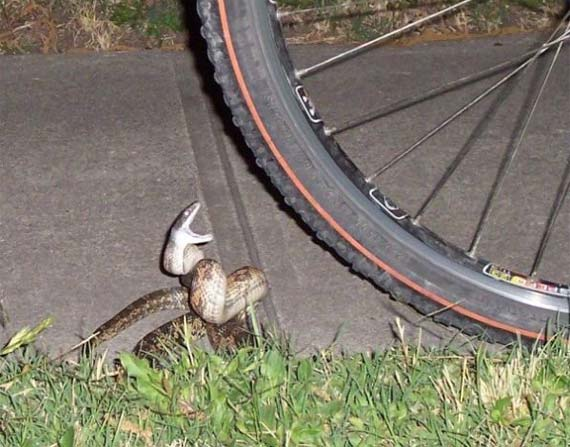 Snake Attacks a Bike (2 pics)