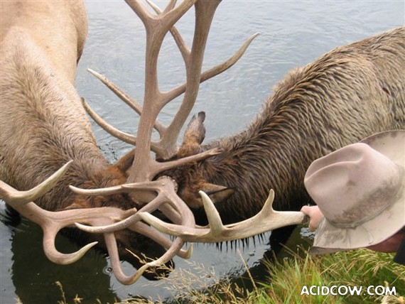 Coupled antlers! :) (4 pics)