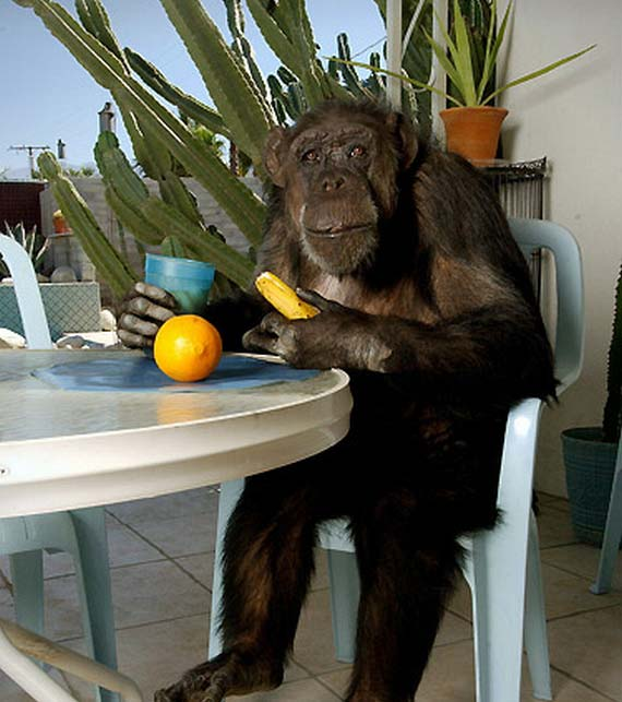 The Oldest Monkey on the Planet Turned 75 (5 pics)