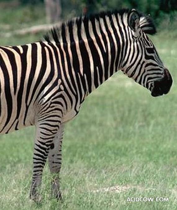 Meet Eclyse - the amazing zebra crossing