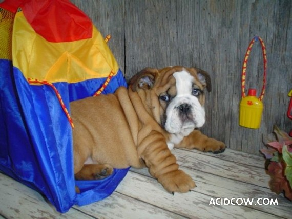 Bulldogs are funny dogs, aha ;)) (29 photos)