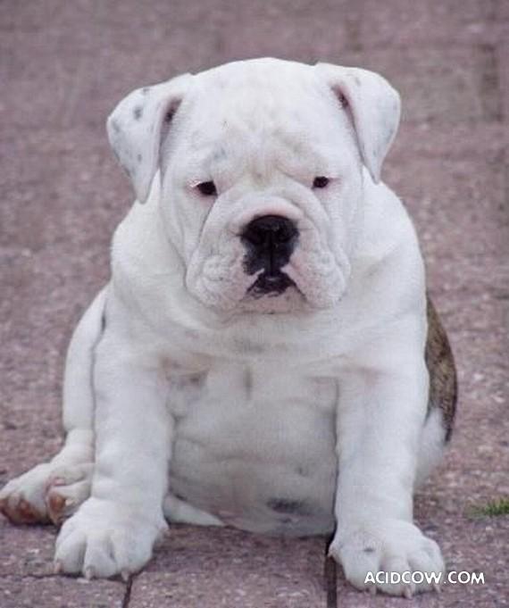 Los bulldog son perros divertidos !