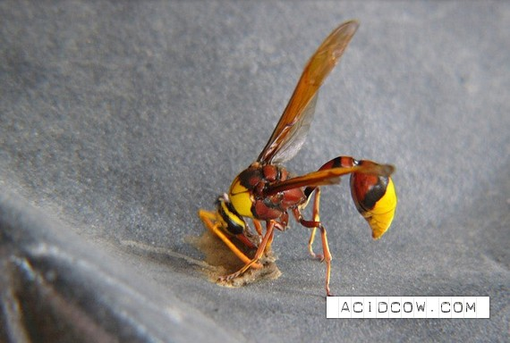 How wasps build their nests (9 pics)