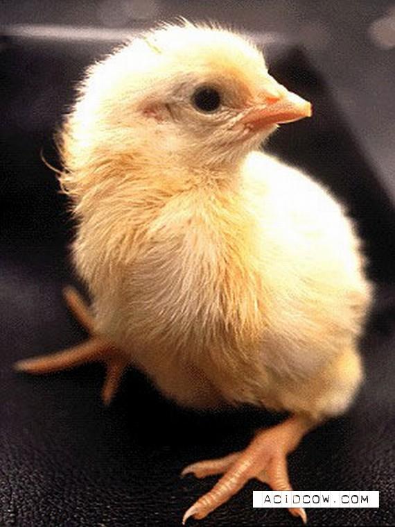 Chicken evolution in photo (19 photo)