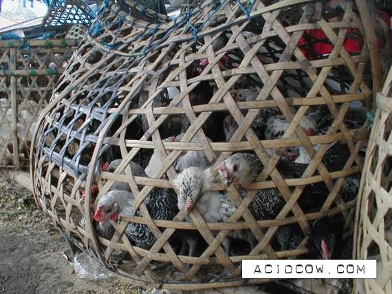 Chicken transportation (22 pics)