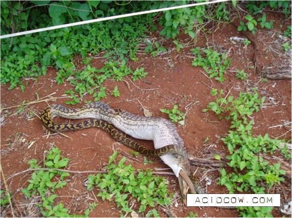 Snake eats wallaby (14 pics)
