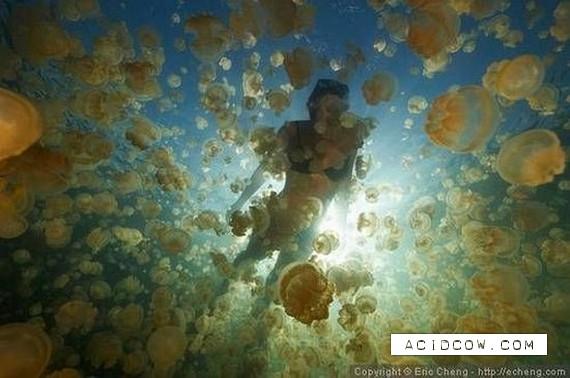Swim among thousands of jellyfish... (17 pics)