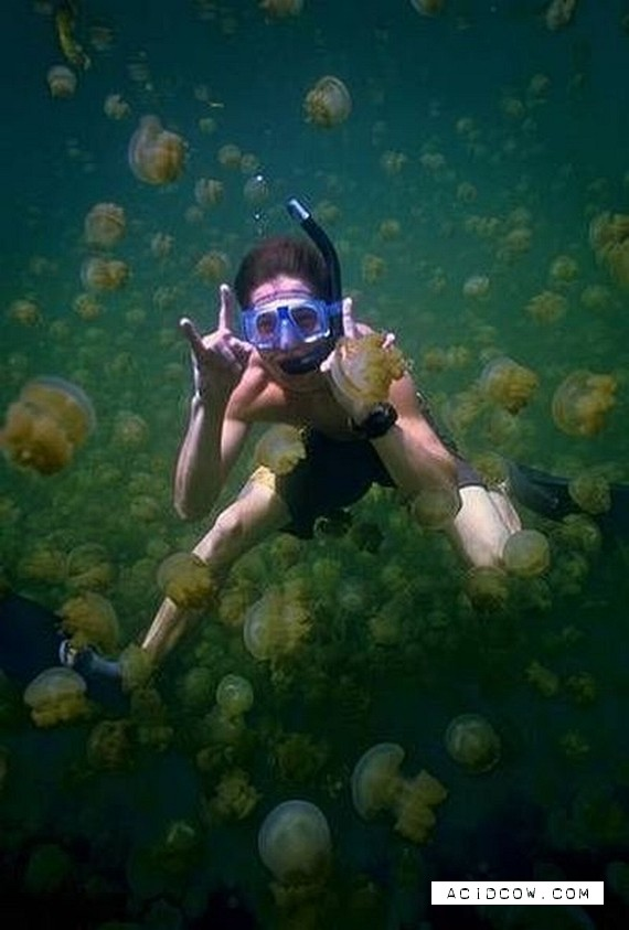 Swim among thousands of jellyfish... (17 pics)