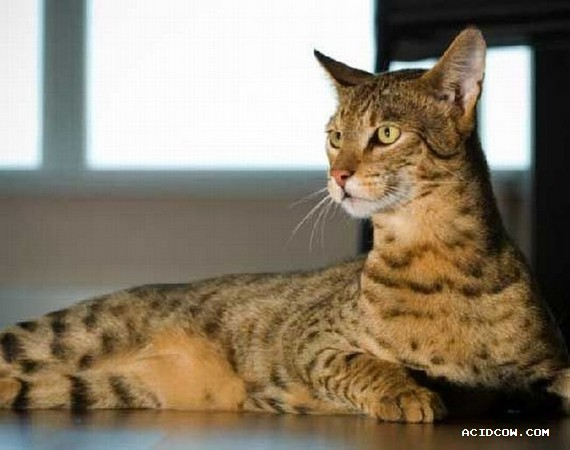 The $22,000 Ashera cat (3 pics)