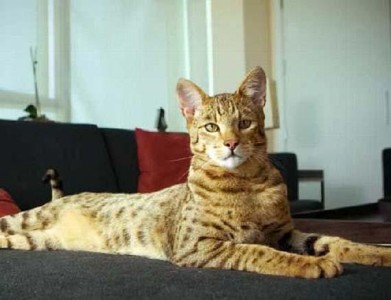 The $22,000 Ashera cat (3 pics)