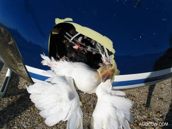 Collision with a covey of geese (25 pics)