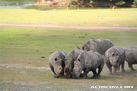 Young bull decided to meet a rhino (4 pics)