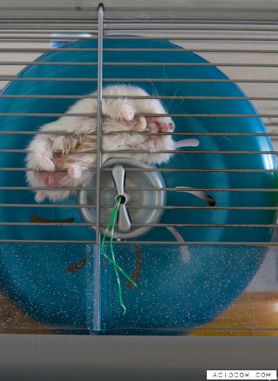 Hamsters (17 pics)