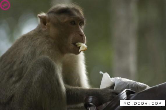 Cute klepto-monkey (11 pics)
