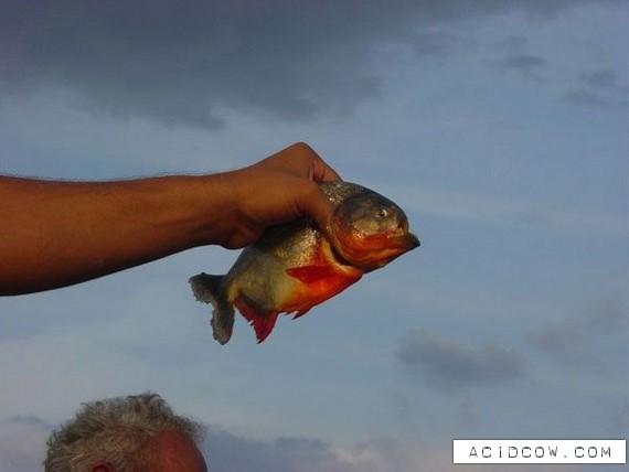 Piranha (8 pics)