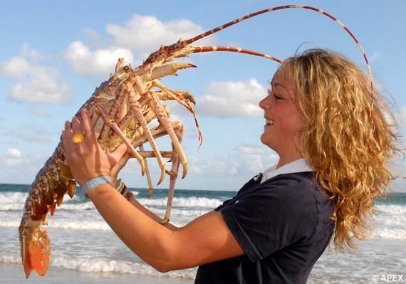 Poseidon the giant lobster (4 pics)