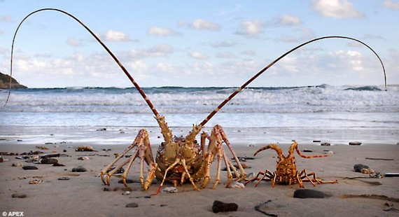 Poseidon the giant lobster (4 pics)