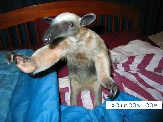 Pet Anteater (50 pics)
