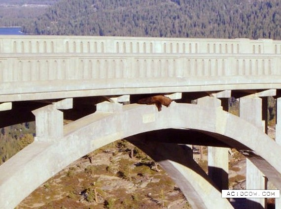 Beleaguered bear in bridge rescue (6 pics)