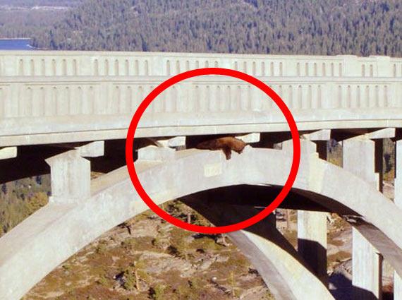 Beleaguered bear in bridge rescue (6 pics)
