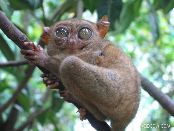 What a beautiful animals - Tarsiers! (33 pics)