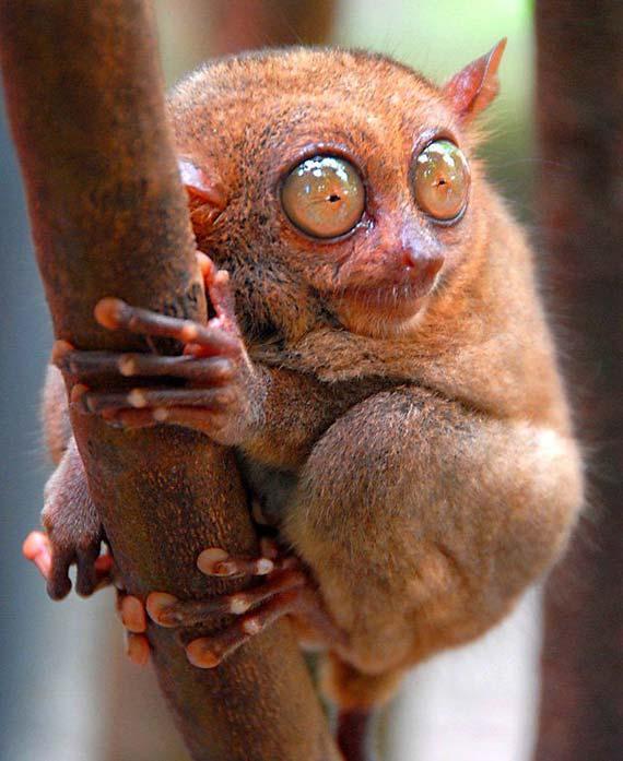 What a beautiful animals - Tarsiers! (33 pics)