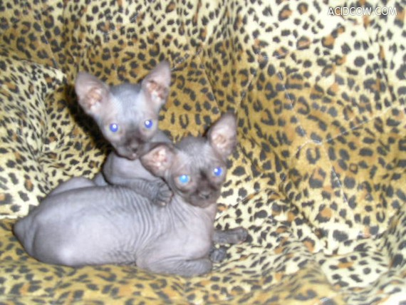 Kittens of Sphinx-cats (35 pics)