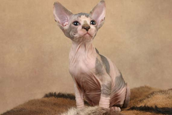 Kittens of Sphinx-cats (35 pics)