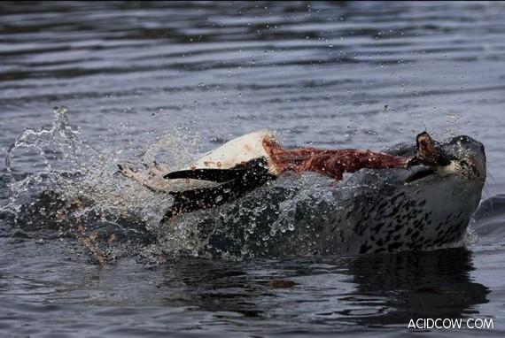 Leopard Seals Hunting (10 pics)