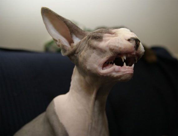 The Sphynx is a rare... (20 pics)