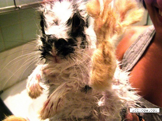 What will happen if you wash a rabbit? ))) (3 pics)