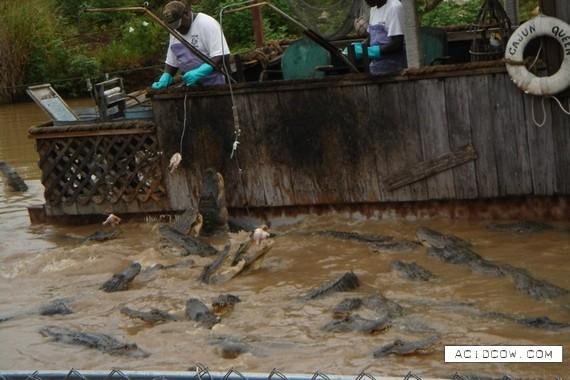 Alligator Farm (9 pics)