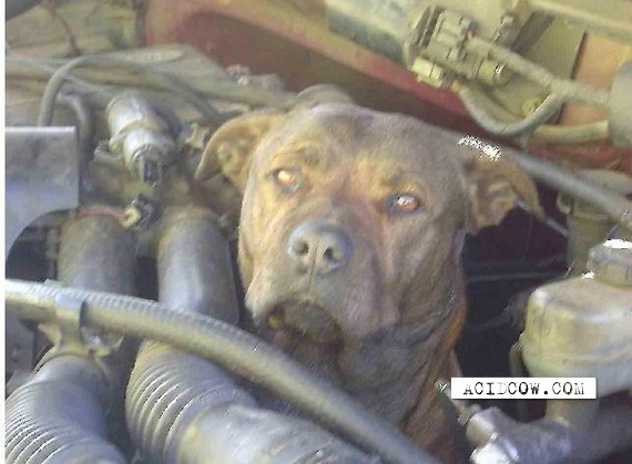 Pit Bull Gets Stuck In Engine Of Truck (8 pics)
