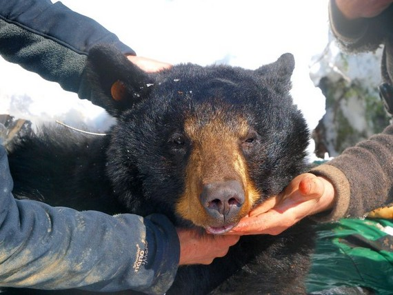 As zoologists have disturbed the bear dream...