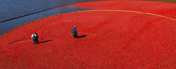 Cranberry Harvest (3 pics)