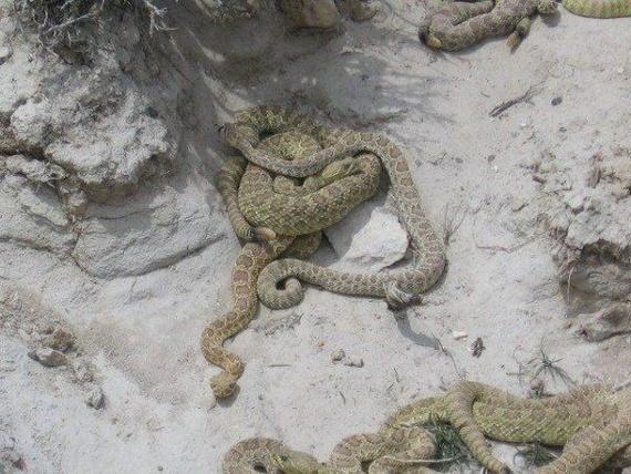 Rattlesnake den (5 pics)