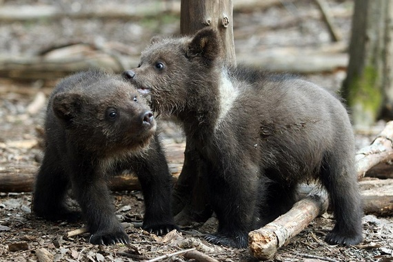 Rescuing Orphan Bear Cubs (12 pics)