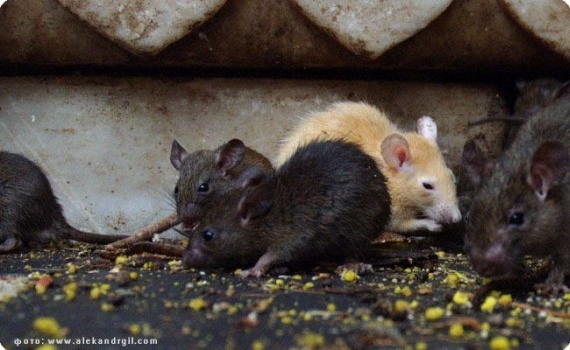 Rats Rule at Indian Temple (23 pics)