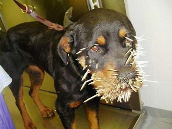 Dogs vs. Porcupine (7 pics)